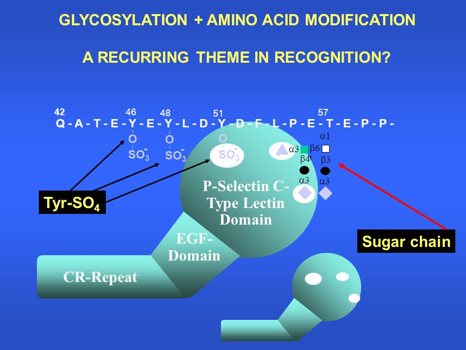 GLYCOSYLATION + AMINO ACID MODIFICATION A RECURRING THEME IN RECOGNITION? Sugar chain Tyr-SO 4 P-Selectin C- Type Lectin Domain CR-Repeat EGF- Domain