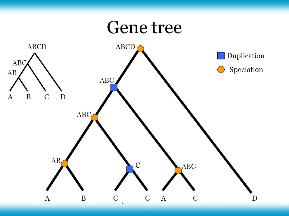 ABCCAC AB ABC C D Duplication Speciation ACBD AB ABC ABCD Gene tree `