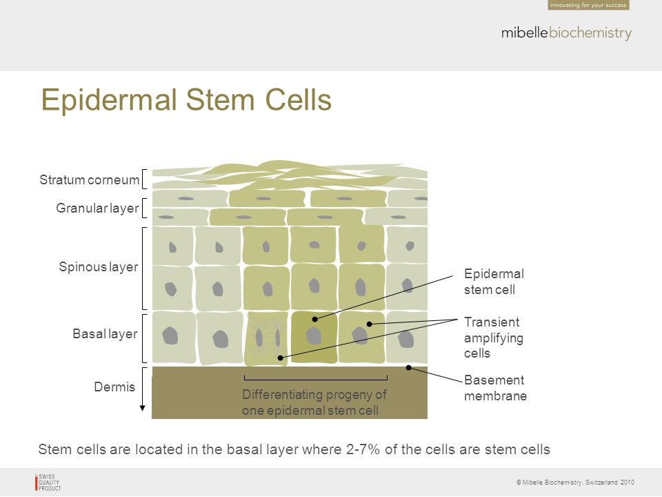 © Mibelle Biochemistry, Switzerland 2010 Epidermal Stem Cells Stem cells are located in the basal layer where 2-7% of the cells are stem cells Differe