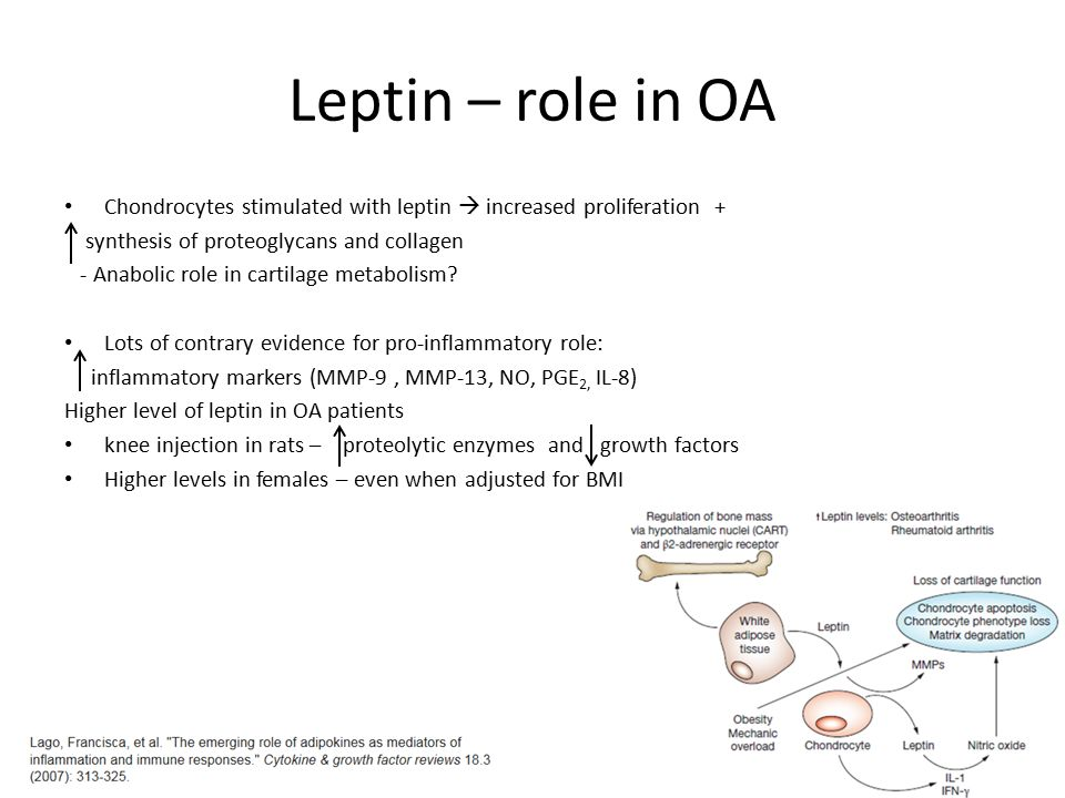 Leptin – role in OA Chondrocytes stimulated with leptin  increased proliferation + synthesis of proteoglycans and collagen - Anabolic role in cartila
