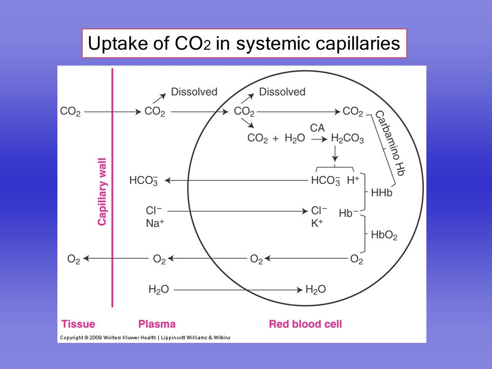 Uptake of CO 2 in systemic capillaries