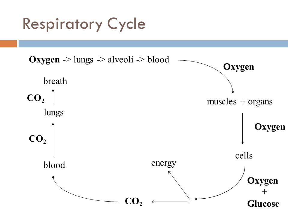 Oxygen -> lungs -> alveoli -> blood muscles + organs Oxygen cells Oxygen + Glucose energy CO 2 blood lungs CO 2 breath CO 2 Respiratory Cycle