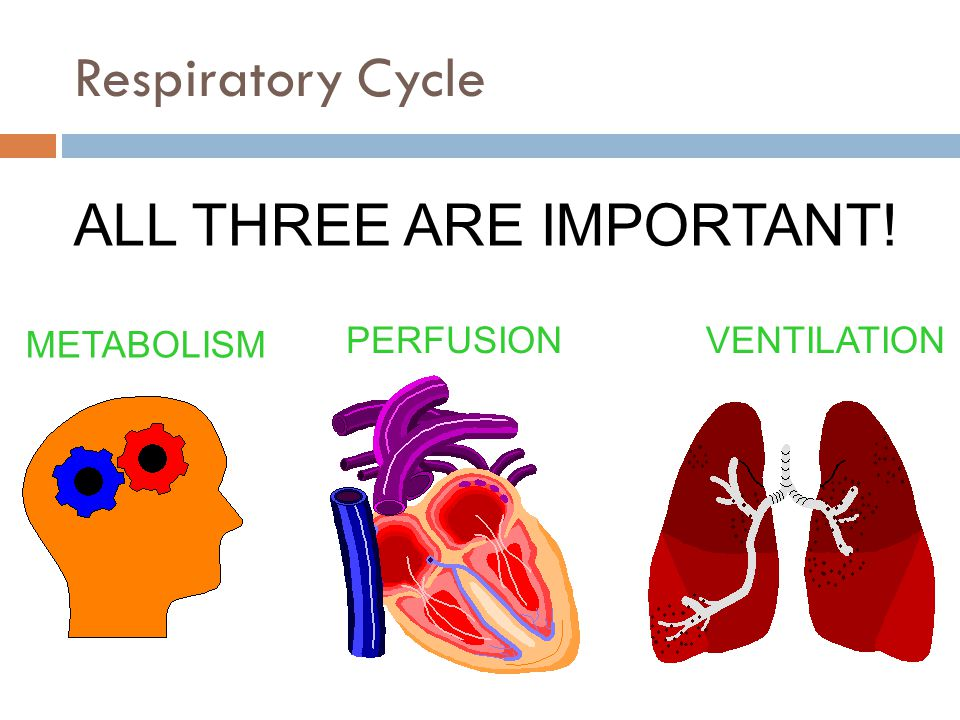 METABOLISM PERFUSIONVENTILATION ALL THREE ARE IMPORTANT! Respiratory Cycle