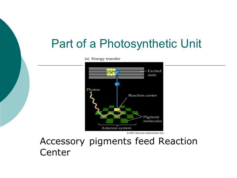 Part of a Photosynthetic Unit Accessory pigments feed Reaction Center