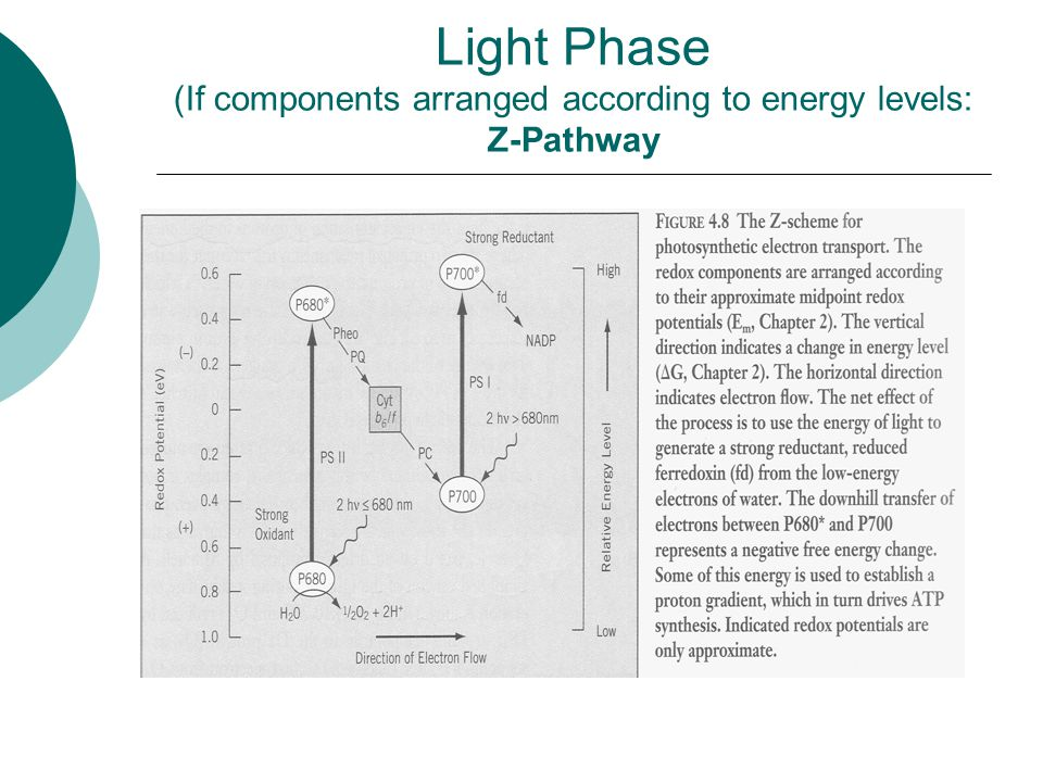 Light Phase (If components arranged according to energy levels: Z-Pathway