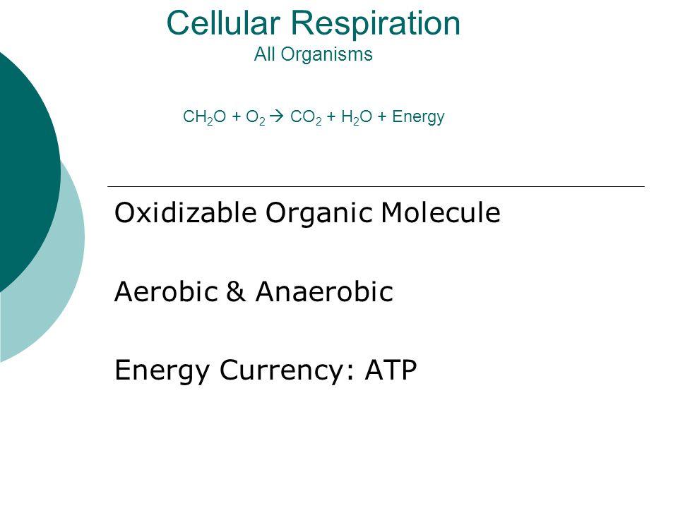 Cellular Respiration All Organisms CH 2 O + O 2  CO 2 + H 2 O + Energy Oxidizable Organic Molecule Aerobic & Anaerobic Energy Currency: ATP