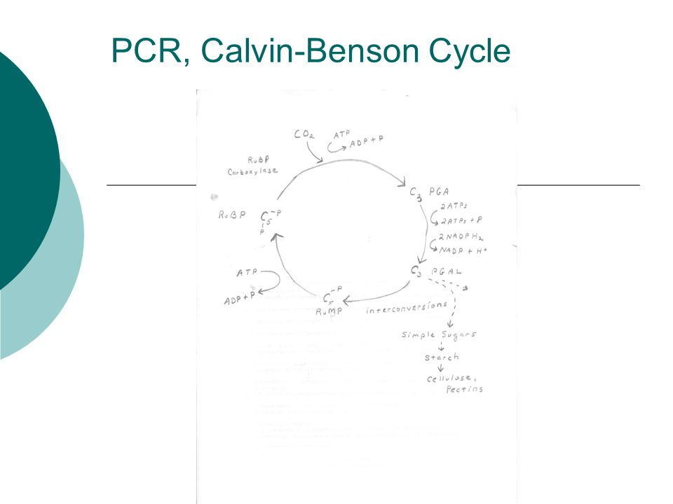 PCR, Calvin-Benson Cycle