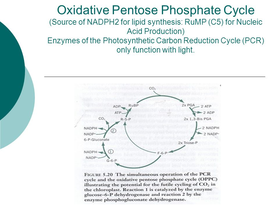 Oxidative Pentose Phosphate Cycle (Source of NADPH2 for lipid synthesis: RuMP (C5) for Nucleic Acid Production) Enzymes of the Photosynthetic Carbon Reduction Cycle (PCR) only function with light.