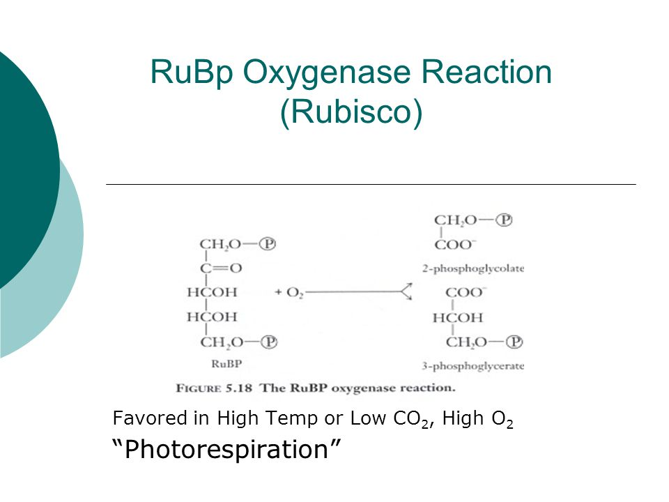 RuBp Oxygenase Reaction (Rubisco) Favored in High Temp or Low CO 2, High O 2 Photorespiration