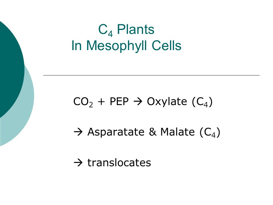 C 4 Plants In Mesophyll Cells CO 2 + PEP  Oxylate (C 4 )  Asparatate & Malate (C 4 )  translocates