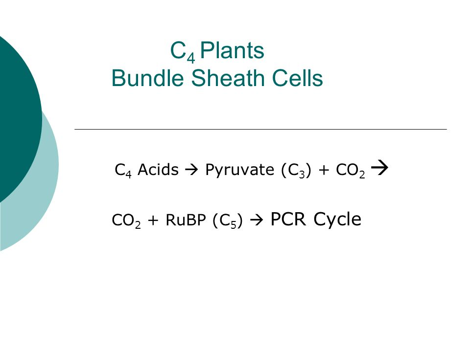 C 4 Plants Bundle Sheath Cells C 4 Acids  Pyruvate (C 3 ) + CO 2  CO 2 + RuBP (C 5 )  PCR Cycle
