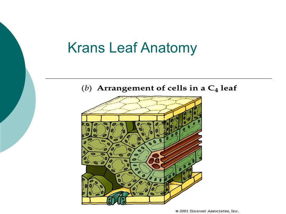 Krans Leaf Anatomy