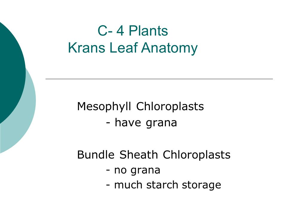 C- 4 Plants Krans Leaf Anatomy Mesophyll Chloroplasts - have grana Bundle Sheath Chloroplasts - no grana - much starch storage