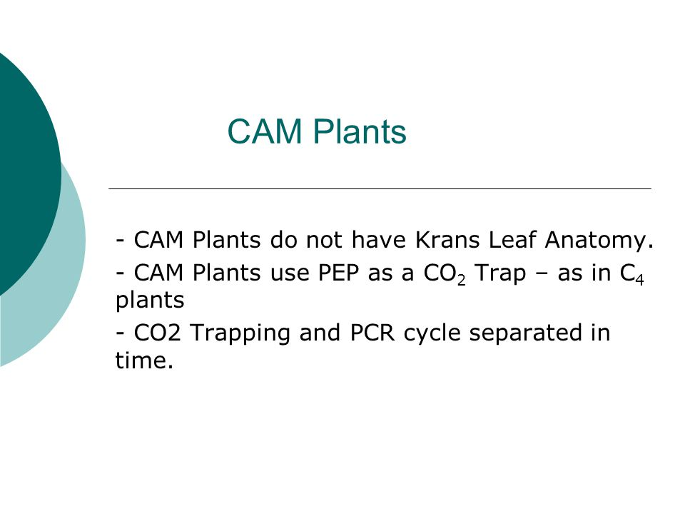 CAM Plants - CAM Plants do not have Krans Leaf Anatomy.