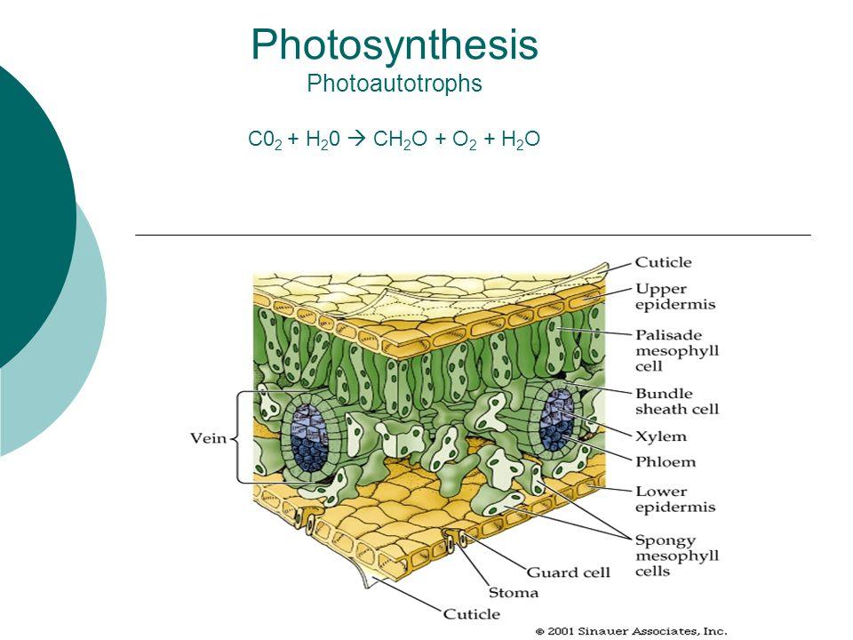 Photosynthesis Photoautotrophs C0 2 + H 2 0  CH 2 O + O 2 + H 2 O