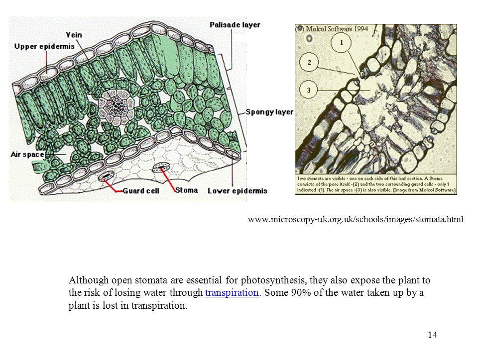 14 www.microscopy-uk.org.uk/schools/images/stomata.html Although open stomata are essential for photosynthesis, they also expose the plant to the risk