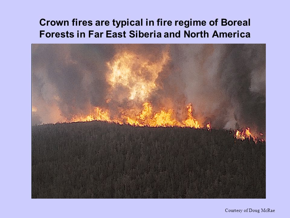 Crown fires are typical in fire regime of Boreal Forests in Far East Siberia and North America Courtesy of Doug McRae