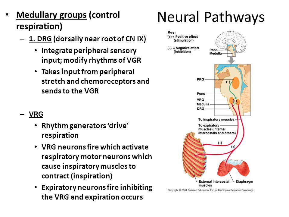 Neural Pathways Medullary groups (control respiration) – 1. DRG (dorsally near root of CN IX) Integrate peripheral sensory input; modify rhythms of VG