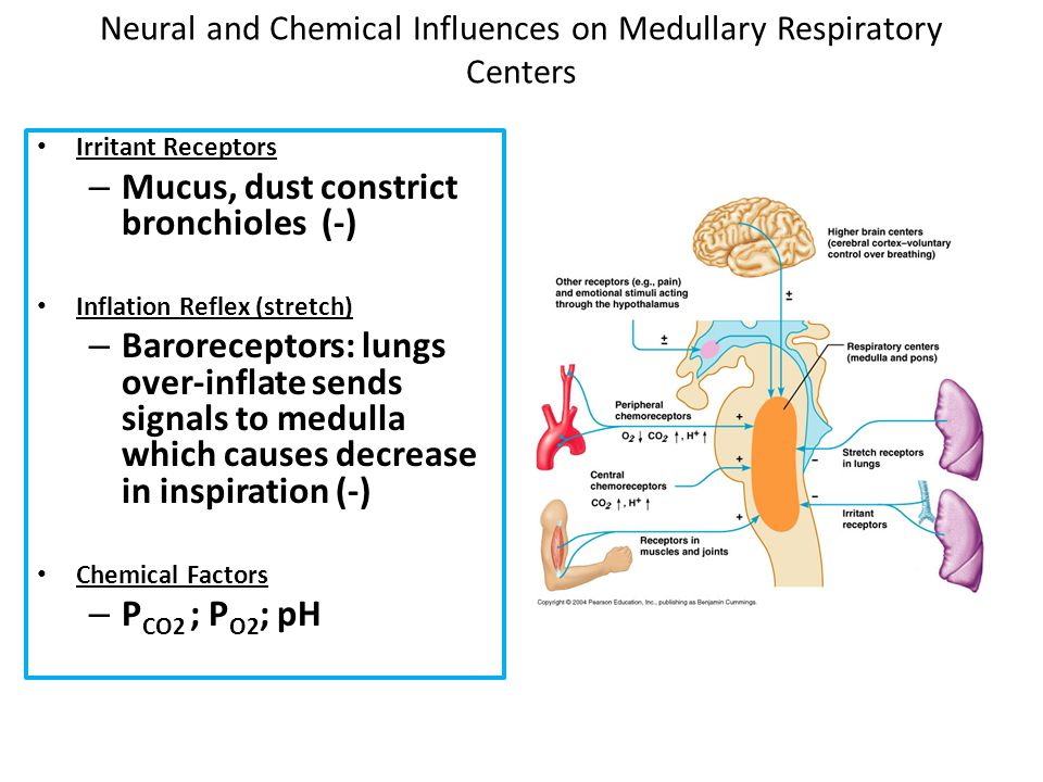 Neural and Chemical Influences on Medullary Respiratory Centers Irritant Receptors – Mucus, dust constrict bronchioles (-) Inflation Reflex (stretch)