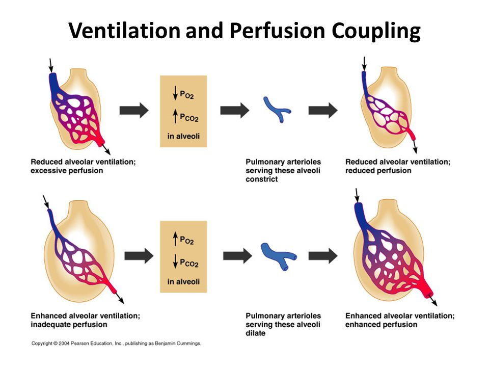 Ventilation and Perfusion Coupling