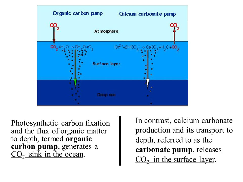 Photosynthetic carbon fixation and the flux of organic matter to depth, termed organic carbon pump, generates a CO 2 sink in the ocean. In contrast, c