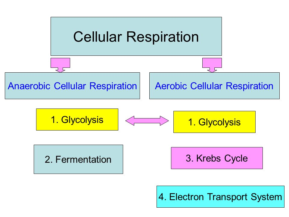 The Electron Transport System 1.