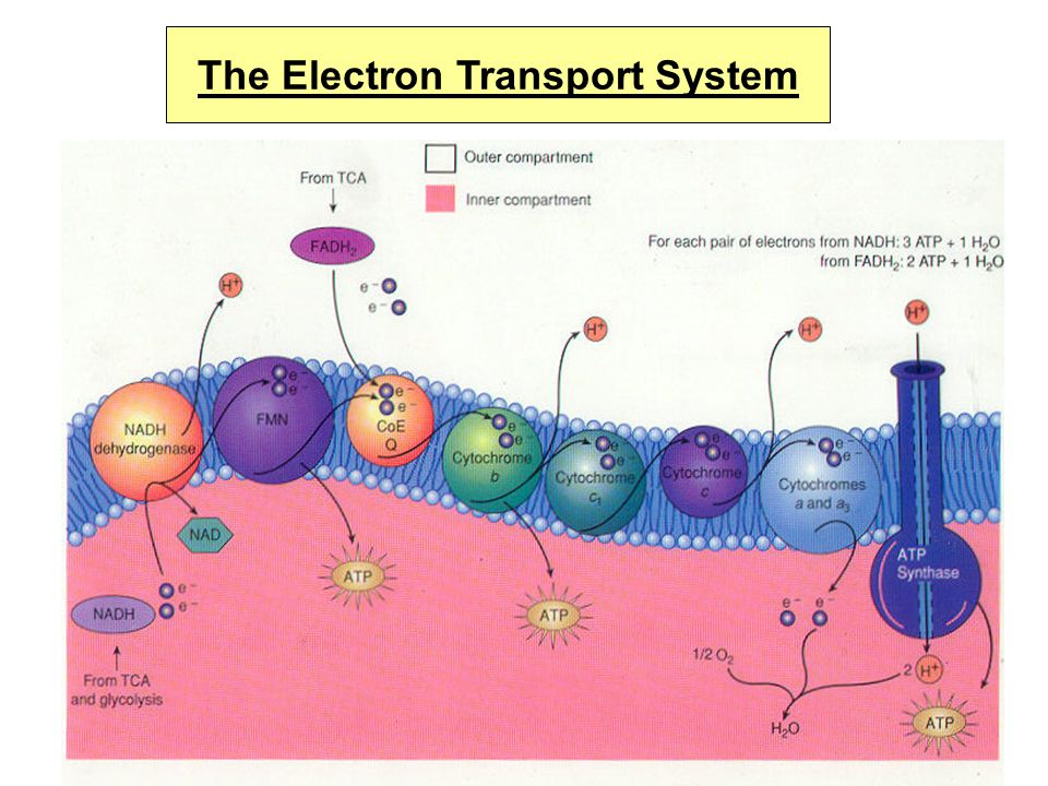 6. Hydrogen ions flow back across the membrane through an enzyme (ATP synthase) that synthesizes ATP 7. The last protein in the ETS finally passes ele