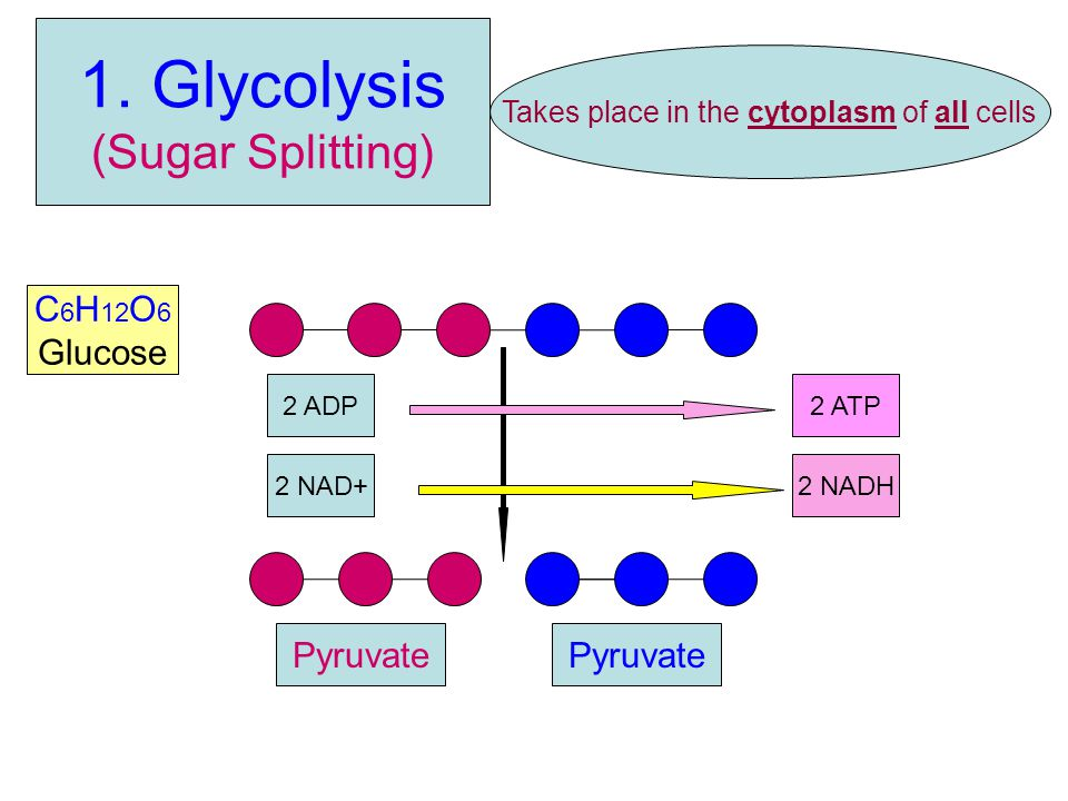 (Sugar Splitting) C 6 H 12 O 6 Glucose 2 NAD+2 NADH 2 ATP2 ADP Takes place in the cytoplasm of all cells Pyruvate