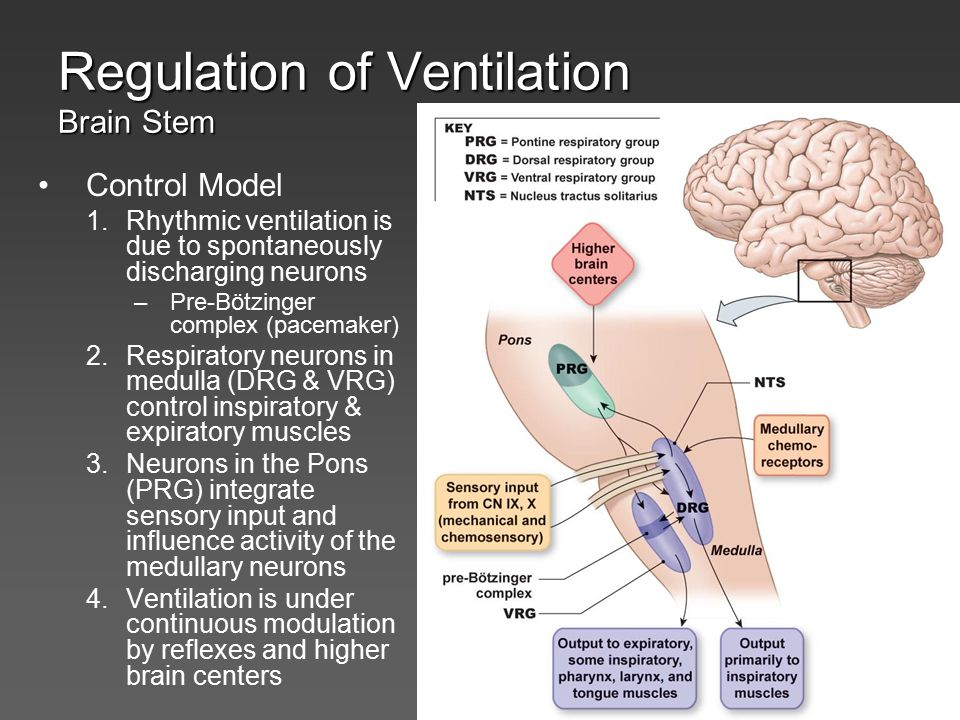 Regulation of Ventilation Brain Stem Control Model 1.Rhythmic ventilation is due to spontaneously discharging neurons –Pre-Bötzinger complex (pacemake