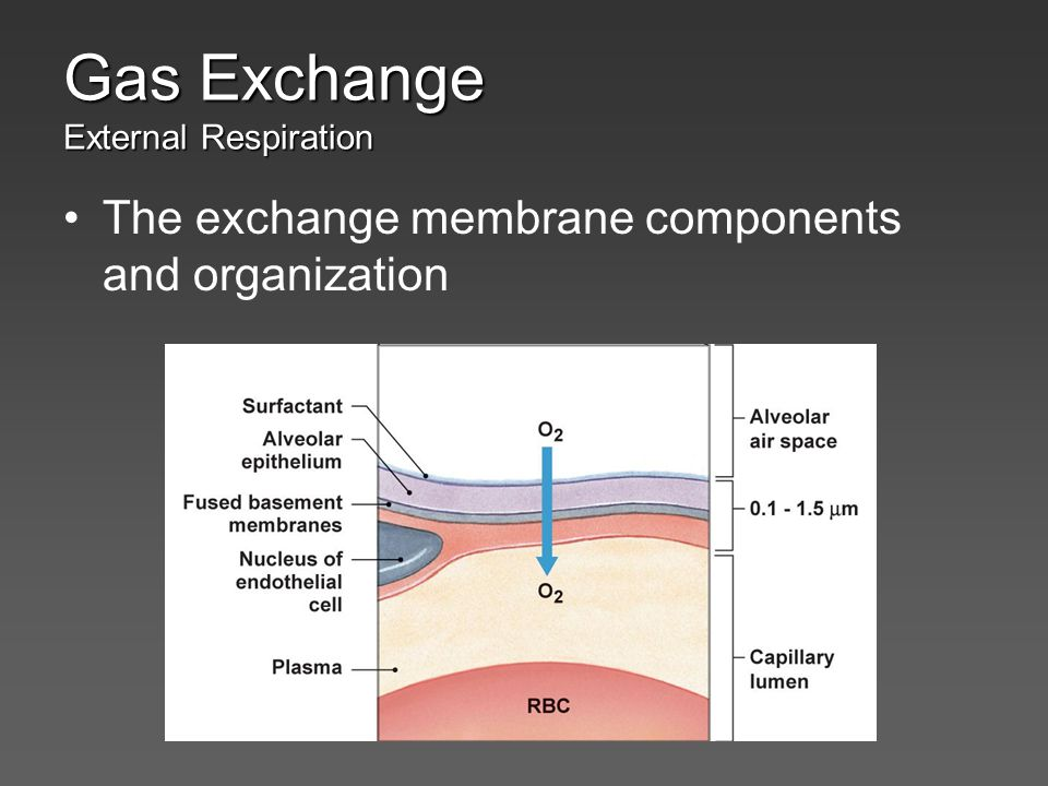 The exchange membrane components and organization Gas Exchange External Respiration