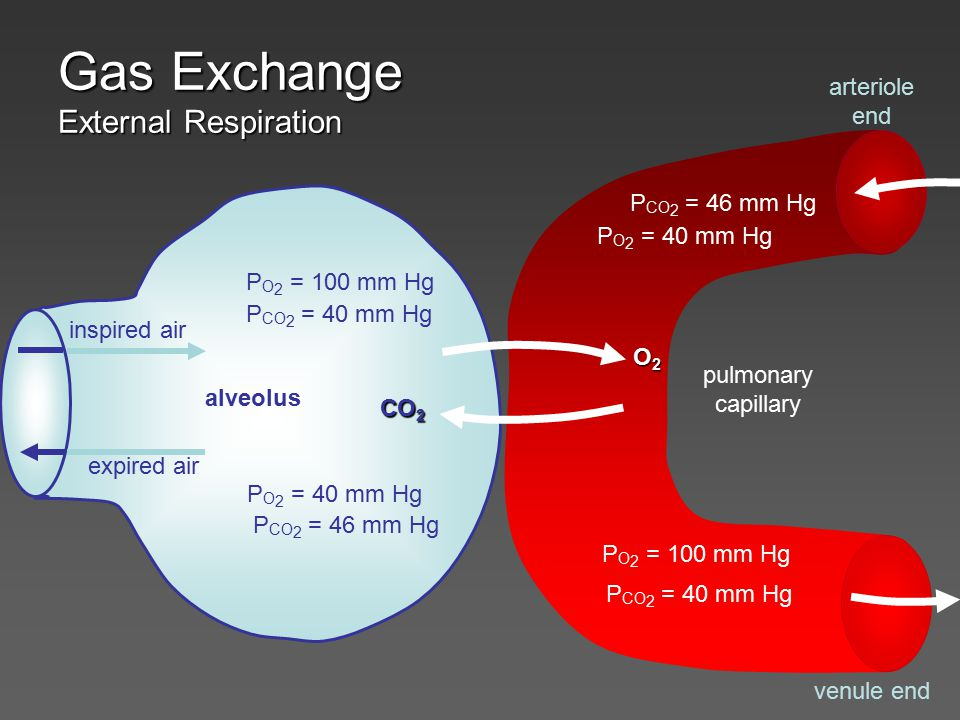 Gas Exchange Internal Respiration systemic cell systemic capillary arteriole end venule end P O 2 = 100 mm Hg P CO 2 = 40 mm Hg P O 2 = 40 mm Hg P CO 2 = 46 mm Hg P O 2 = 40 mm Hg P CO 2 = 46 mm Hg P O 2 = 100 mm Hg P CO 2 = 40 mm Hg O2O2O2O2 CO 2