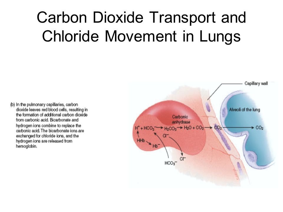 Carbon Dioxide Transport and Chloride Movement in Lungs