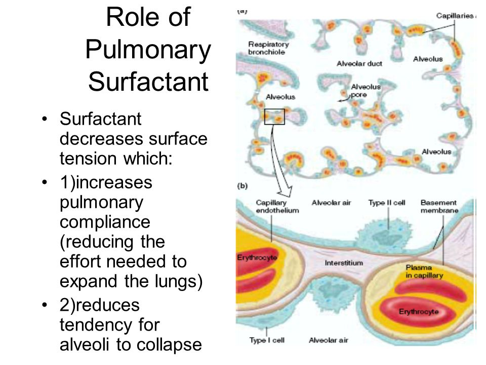 Role of Pulmonary Surfactant Surfactant decreases surface tension which: 1)increases pulmonary compliance (reducing the effort needed to expand the lungs) 2)reduces tendency for alveoli to collapse