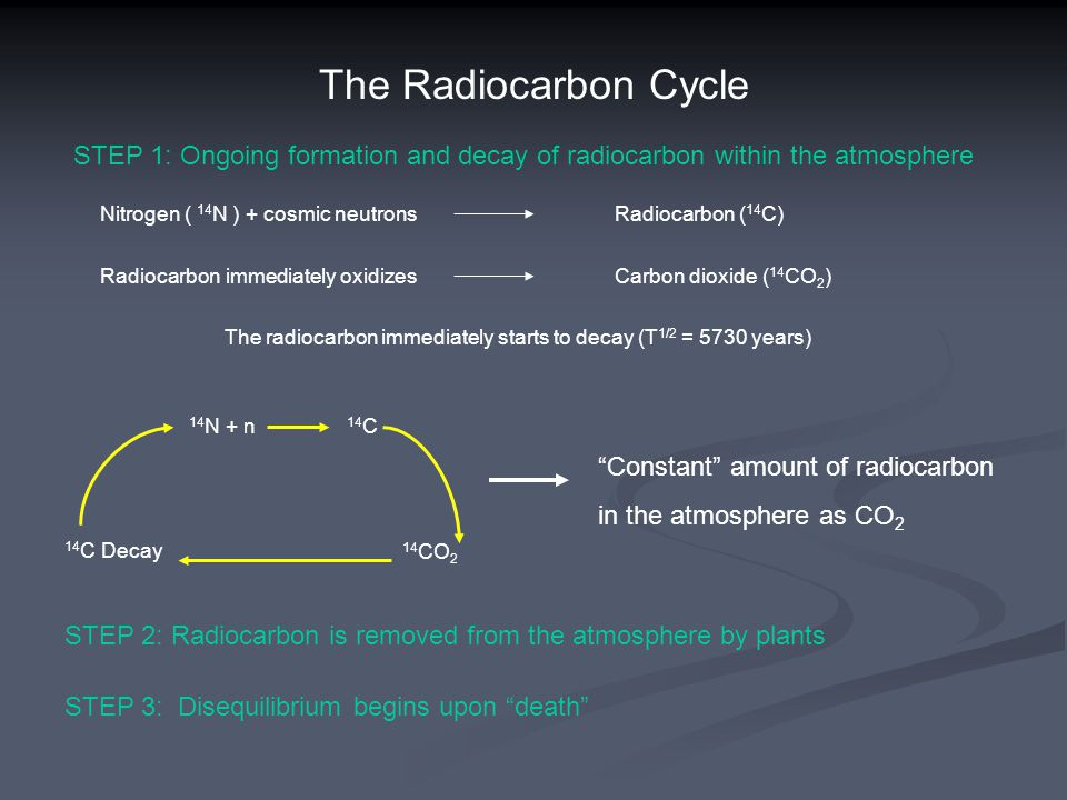The Radiocarbon Cycle STEP 1: Ongoing formation and decay of radiocarbon within the atmosphere Nitrogen ( 14 N ) + cosmic neutrons Radiocarbon ( 14 C) Radiocarbon immediately oxidizes Carbon dioxide ( 14 CO 2 ) The radiocarbon immediately starts to decay (T 1/2 = 5730 years) 14 N + n 14 C 14 C Decay 14 CO 2 Constant amount of radiocarbon in the atmosphere as CO 2 STEP 2: Radiocarbon is removed from the atmosphere by plants STEP 3: Disequilibrium begins upon death