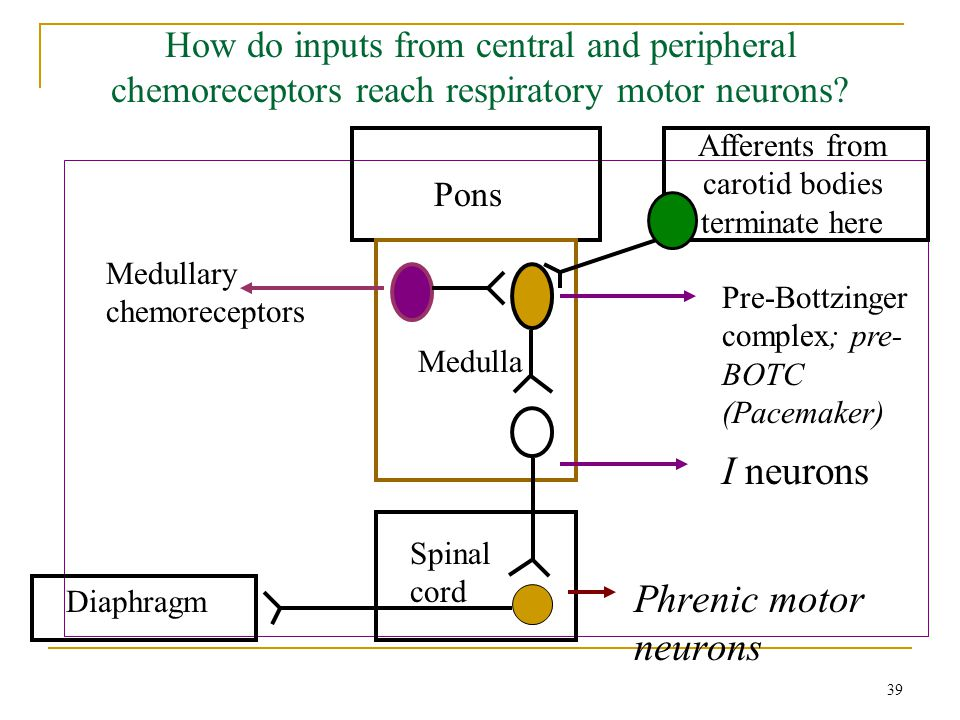 How do inputs from central and peripheral chemoreceptors reach respiratory motor neurons? Pons Medulla Pre-Bottzinger complex; pre- BOTC (Pacemaker) I