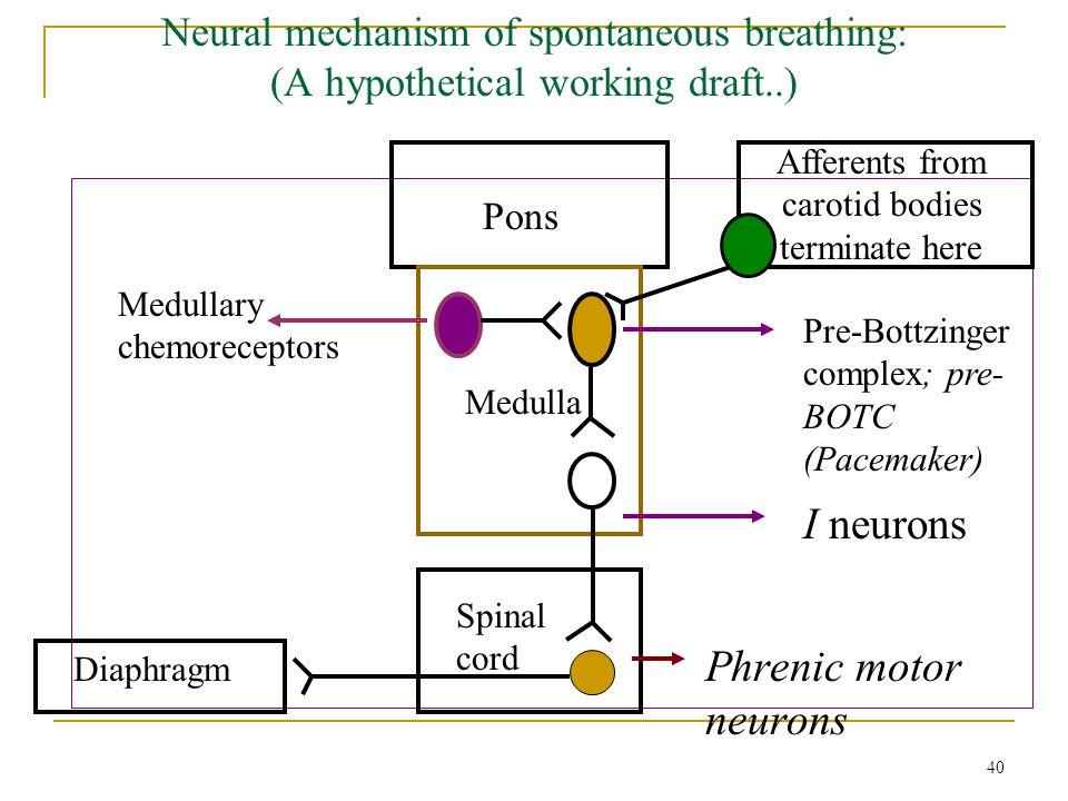 Neural mechanism of spontaneous breathing: (A hypothetical working draft..) Pons Medulla Pre-Bottzinger complex; pre- BOTC (Pacemaker) I neurons Phren