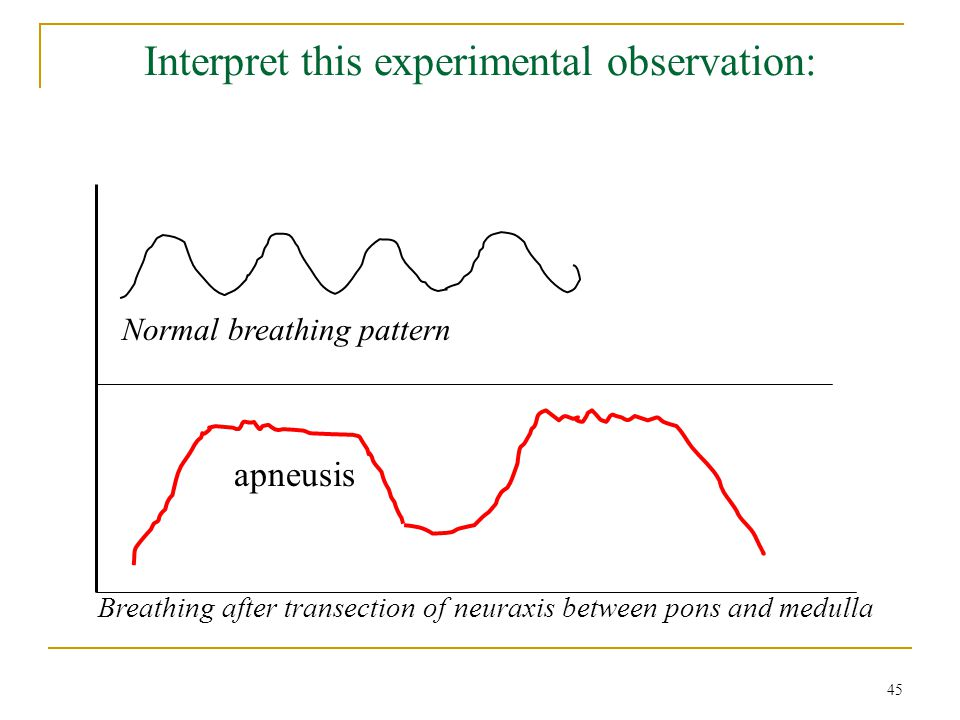 Interpret this experimental observation: Normal breathing pattern Breathing after transection of neuraxis between pons and medulla apneusis 45