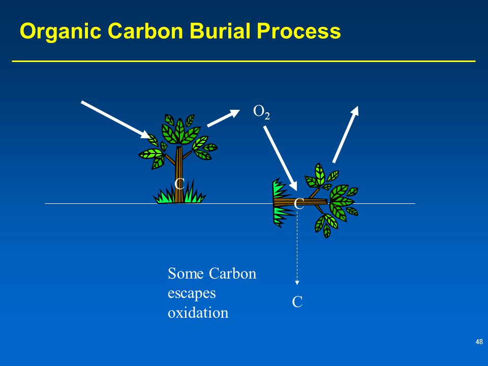 48 Organic Carbon Burial Process C C O2O2 Some Carbon escapes oxidation C