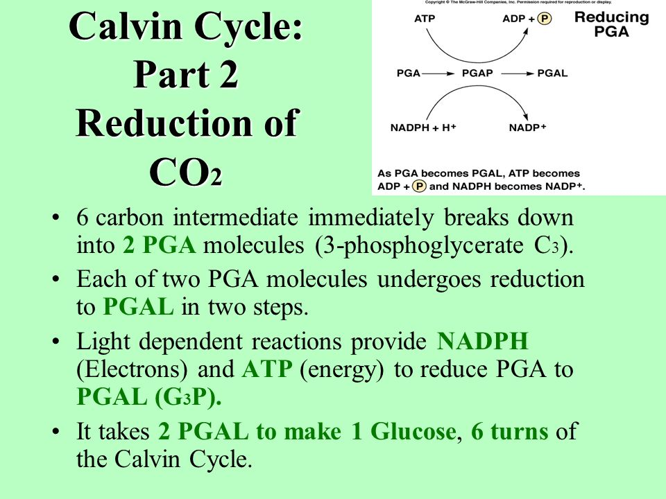 Calvin Cycle: Part 1 Carbon Fixation CO 2 fixation is the attachment of CO 2 to an organic compound.