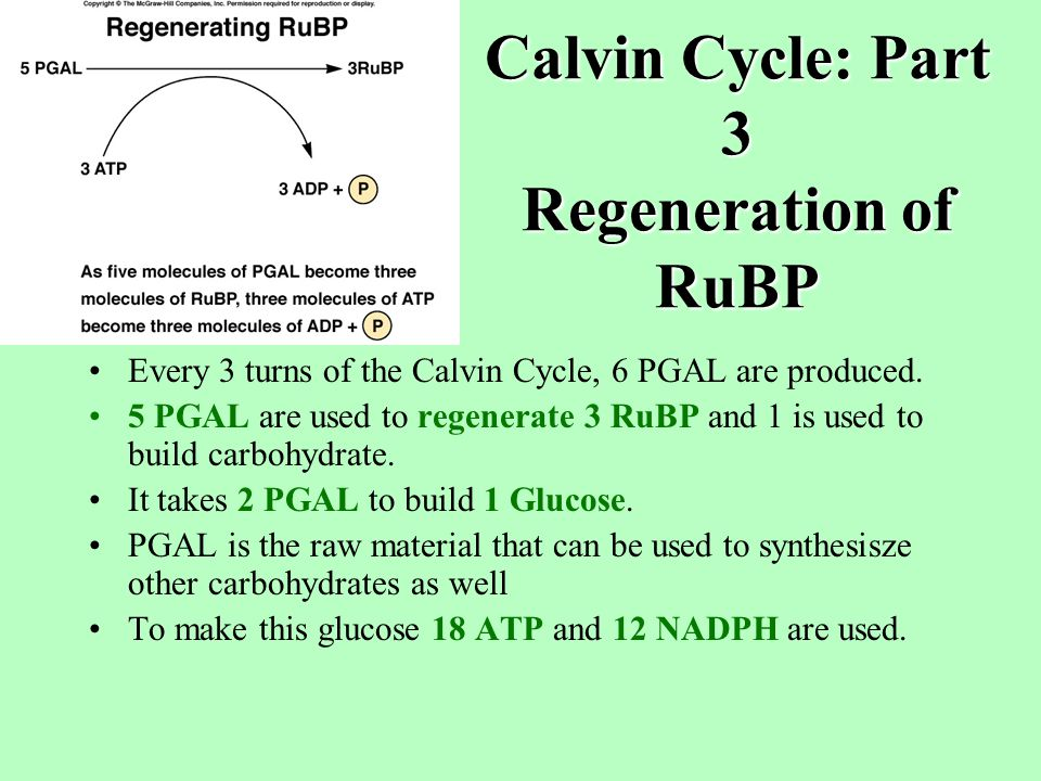 Calvin Cycle: Part 2 Reduction of CO 2 6 carbon intermediate immediately breaks down into 2 PGA molecules (3-phosphoglycerate C 3 ).