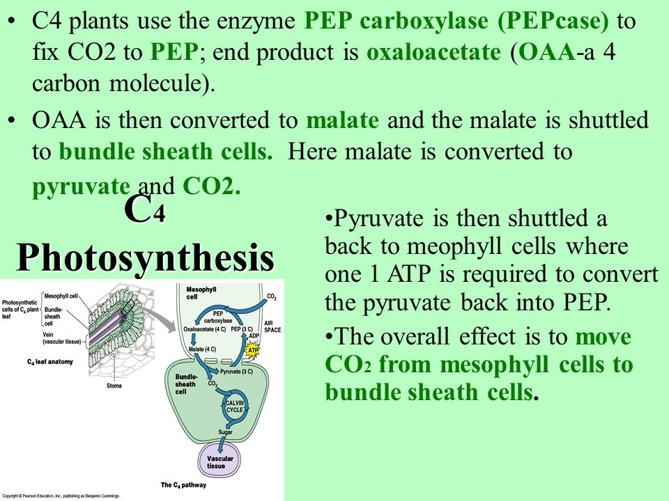 In C 3 plants, mesophyll cells contain chloroplasts arranged in parallel layers.
