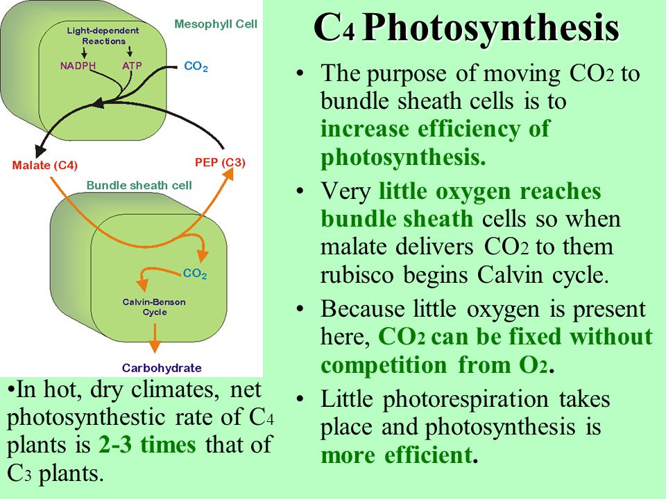 C 4 Photosynthesis C4 plants use the enzyme PEP carboxylase (PEPcase) to fix CO2 to PEP; end product is oxaloacetate (OAA-a 4 carbon molecule).