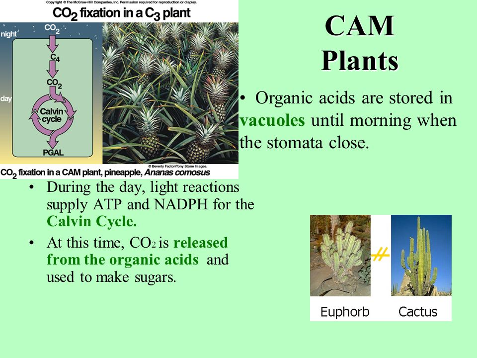 CAM Plants CAM = crassulacean acid metabolism.