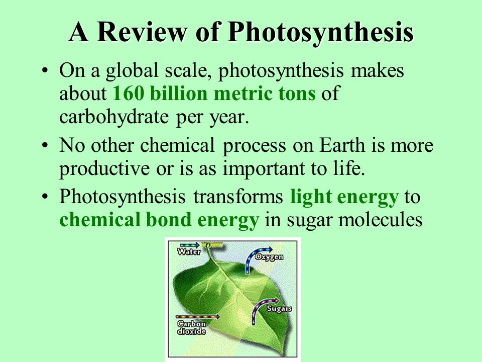 CAM Plants During the day, light reactions supply ATP and NADPH for the Calvin Cycle.