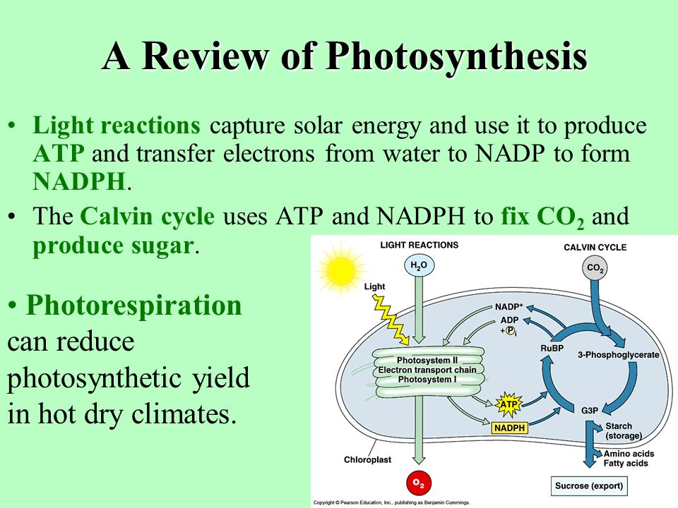 A Review of Photosynthesis On a global scale, photosynthesis makes about 160 billion metric tons of carbohydrate per year. No other chemical process o