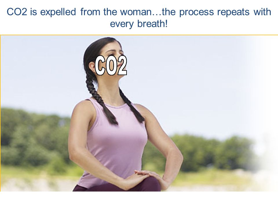 The diaphrag m muscle pushes the CO2 out of the lungs
