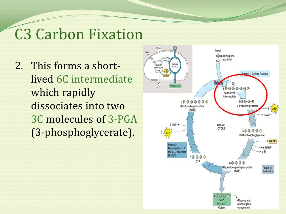 C3 Carbon Fixation 2.This forms a short- lived 6C intermediate which rapidly dissociates into two 3C molecules of 3-PGA (3-phosphoglycerate).