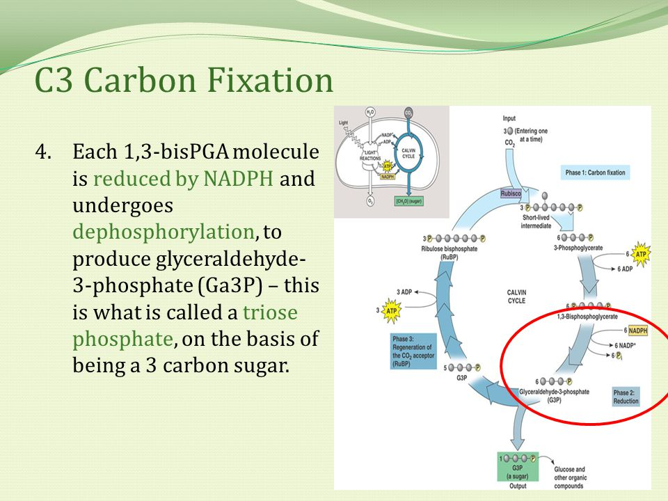 C3 Carbon Fixation 4.Each 1,3-bisPGA molecule is reduced by NADPH and undergoes dephosphorylation, to produce glyceraldehyde- 3-phosphate (Ga3P) – thi
