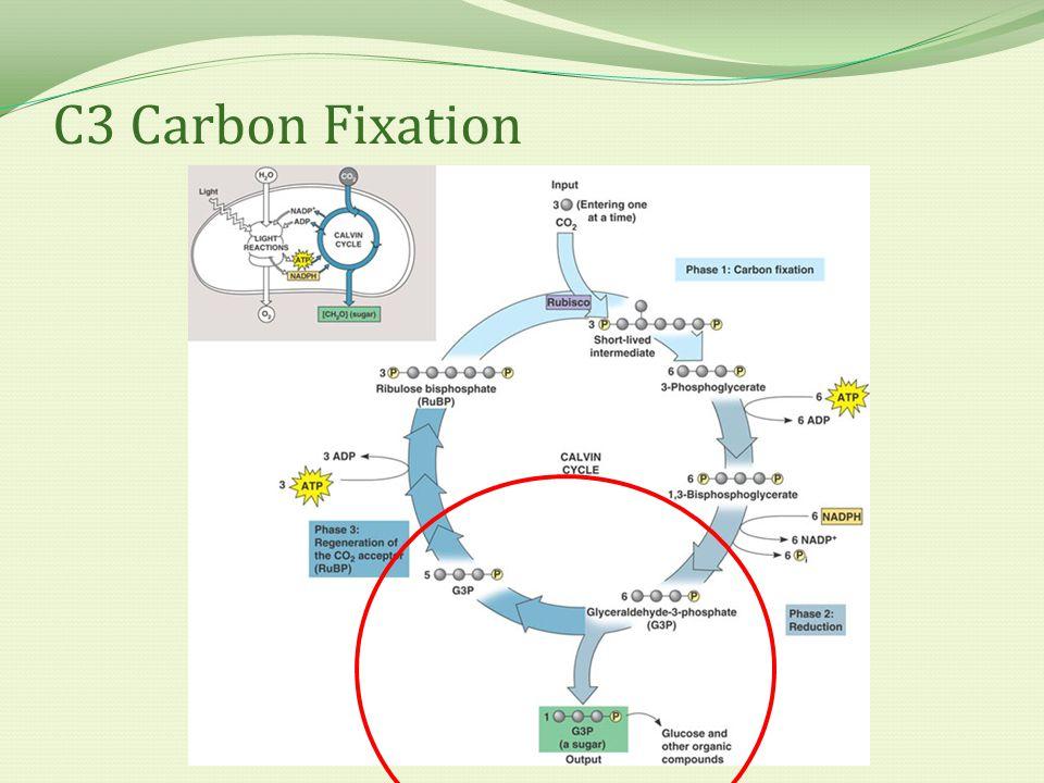 C3 Carbon Fixation