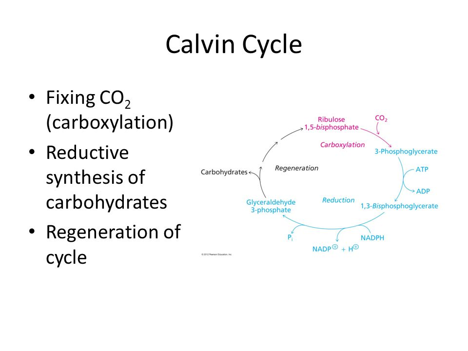 Calvin Cycle Fixing CO 2 (carboxylation) Reductive synthesis of carbohydrates Regeneration of cycle